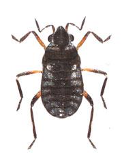 Microvelia reticulata         1.4 - 1.6 mm