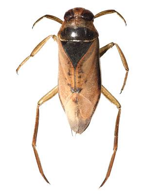 Notonecta glauca       14 - 16 mm