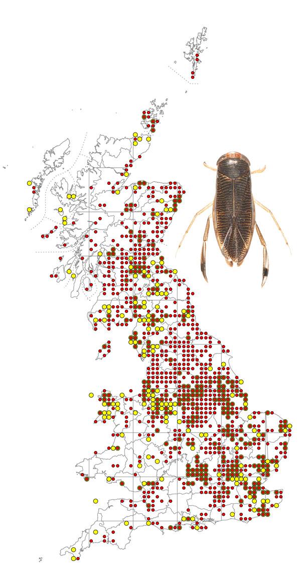 Callicorixa-praeusta-+-map