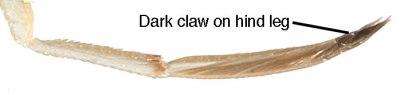 Sigara-lateralis-claw