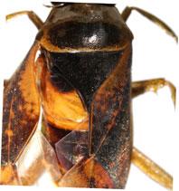 Notonecta-maculata-metanotum