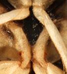 sigara-limitata-xiphus-1