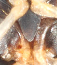 sigara-nigrolineata-xiphus